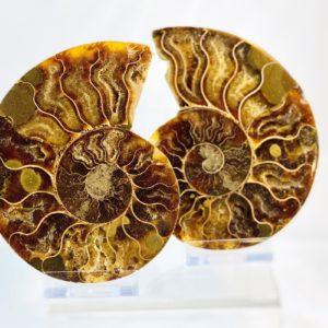 Ammonit, Ammonitenpaar, Versteinerung, Madagaskar