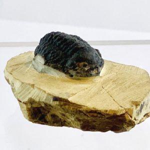 Trilobit in Matrix, Marokko, ca. 39 Millionen Jahre alt, Versteinerung