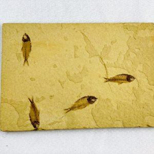 versteinerte Fische, Versteinerungen